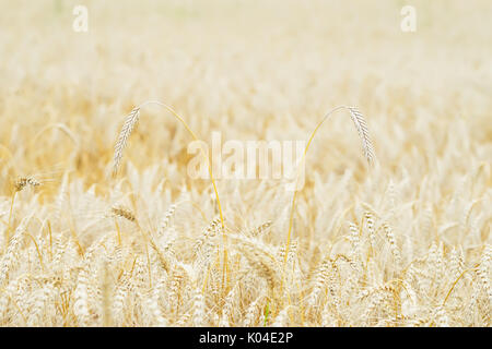 Wheat field, ears of cereals in the hot summer noon, selective focus - Stock Photo