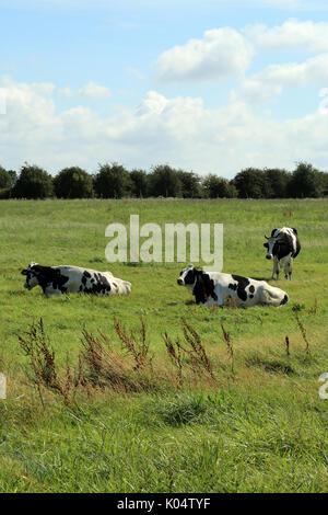 Cows in field alongside Rue de la Chapelle, Saint Valery sur Somme, Somme, Hauts de France, France - Stock Photo