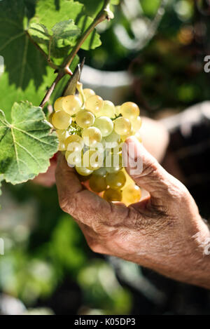 closeup of a senior caucasian man collecting a bunch of white grapes from the plant using pruning shears - Stock Photo