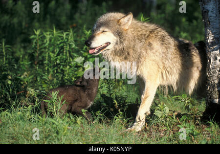 Timber or Grey Wolf, Canis Lupus,  Minnesota USA, controlled situation, female with young cubs, - Stock Photo