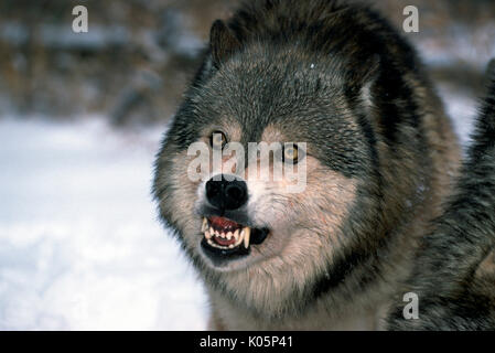 Timber or Grey Wolf, Canis Lupus, Minnesota  USA  single wolf showing agggressive behaviour, growling, snarling, - Stock Photo