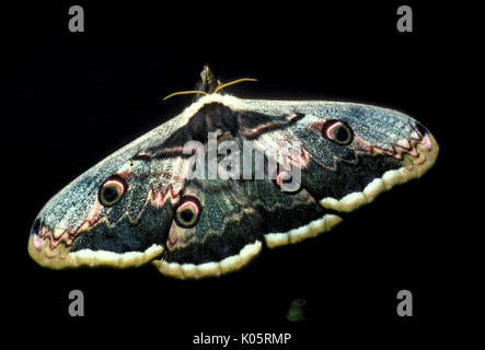 Giant Peacock Moth, Saturnia pyri, Europe, largest European Moth also called Great Peacock Moth, Giant Emperor Moth - Stock Photo