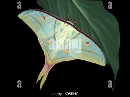 Indian Moon Moth, Actias selene, Asia, silkmoth, adult with wings open - Stock Photo