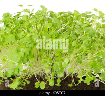 Rocket salad, fresh sprouts and young leaves front view over white. Salad vegetable and microgreen. Also known as - Stock Photo