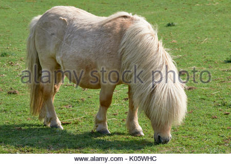 Side view of a Shetland pony Equus ferus caballus grazing on grass in a field in the British uk countryside - Stock Photo