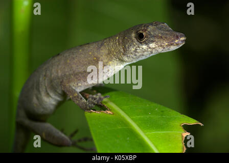 Common Forest Anole, Amazon Forest Anole. Norops trachyderma, Iquitos, Peru, jungle, nocturnal, lizard. - Stock Photo