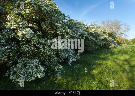 A rural hawthorn hedgerow (Crataegus Monogyna) full of white blossom on a May evening near Brixworth in Northamptonshire, - Stock Photo