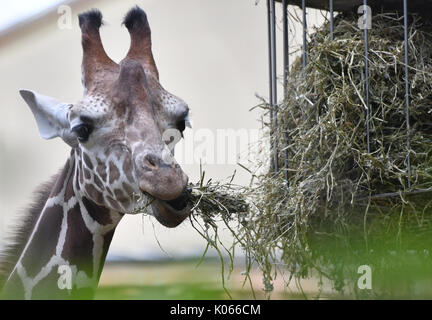 Berlin, Germany. 21st Aug, 2017. A giraffe munching on hay in its enclosure at the zoo in Berlin, Germany, 21 August - Stock Photo