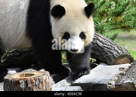 Berlin, Germany. 21st Aug, 2017. Meng Meng the panda in her enclosure at the zoo in Berlin, Germany, 21 August 2017. - Stock Photo