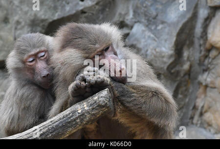 Berlin, Germany. 21st Aug, 2017. Two hamadryas baboons relaxing in their enclosure at the zoo in Berlin, Germany, - Stock Photo