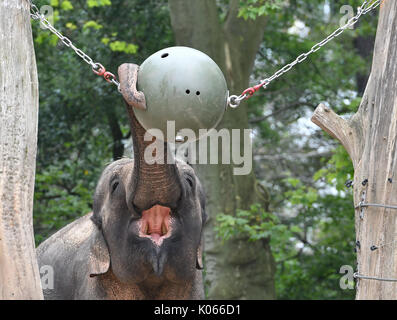 Berlin, Germany. 21st Aug, 2017. An elephant reaches for a ball with its trunk in its enclosure at the zoo in Berlin, - Stock Photo