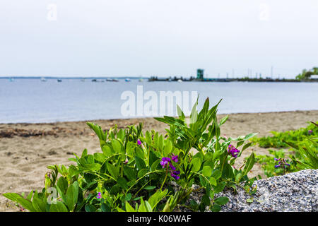 Marina harbor boats in the distance in Lincolnville, Maine small village during rain and beach with purple flowers - Stock Photo