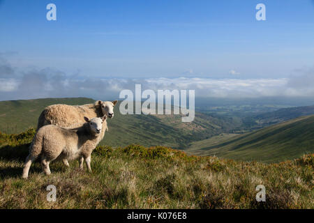 Two Sheep, a Ewe and a Lamb looking over the valley in the Brecon Beacons National Park in South Wales, UK - Stock Photo