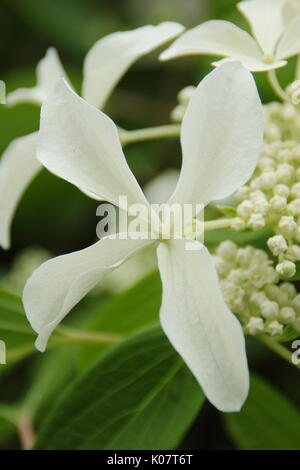 Hydrangea paniculata 'Great Star', a fragrant hydrangea with star-shaped white flowers, flowering in an English - Stock Photo