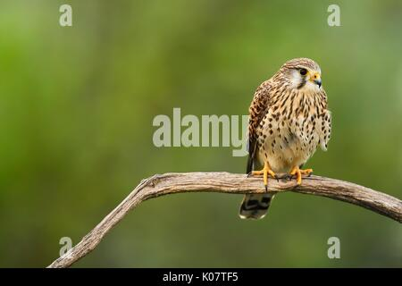 Common kestrel (Falco tinnunculus), female sitting on branch, Kiskunság National Park, Hungary - Stock Photo