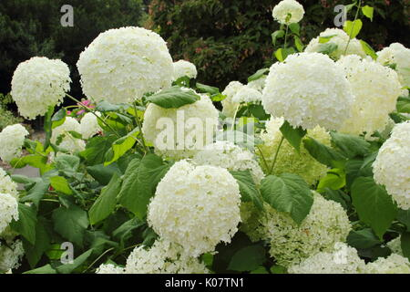 Hydrangea arborescens 'Annabelle' in full bloom in an English garden border in summer (August) AGM - Stock Photo