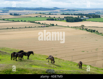 Exmoor ponies grazing on North Berwick Law, East Lothian. The ponies were introduced to the Law to improve the quality - Stock Photo