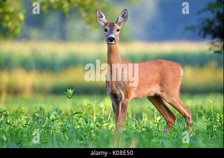 Wild female roe deer (capreolus capreolus) in a field - Stock Photo