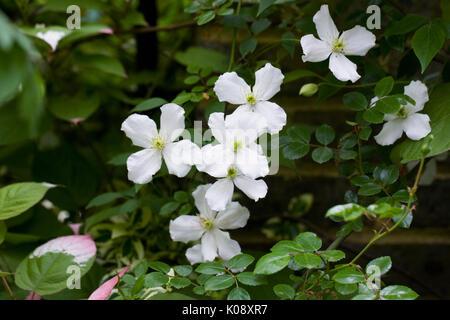 Clematis montana growing in the garden - Stock Photo