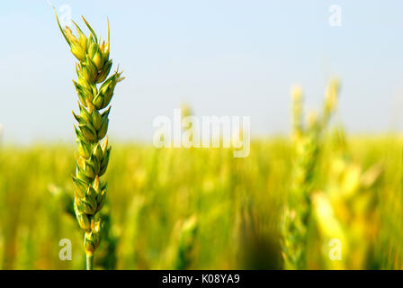 Spring wheat crop, mid season.  This cereal grain crop variety is 'spring wheat' and is planted in early spring. - Stock Photo