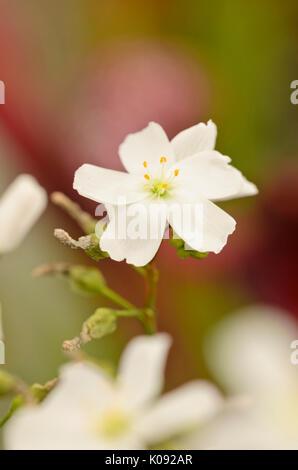 Fork-leaved sundew (Drosera binata) - Stock Photo