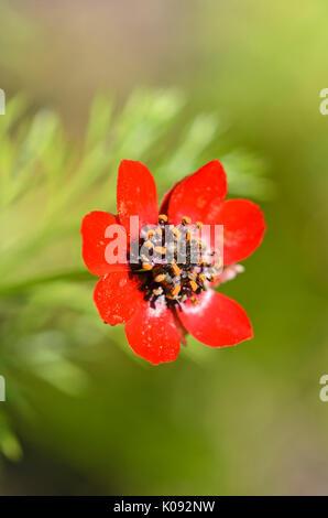 Autumn pheasant's eye (Adonis annua) - Stock Photo