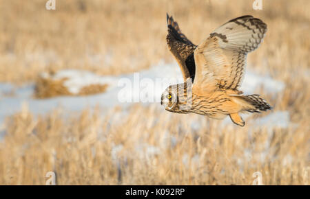 Short eared owl taking off - Stock Photo