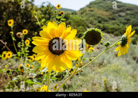 Sunflower (Helianthus) backlit by the sun with beautiful bokeh in a lovely mountain setting - Stock Photo