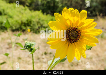 Sunflower (Helianthus) backlit by the sun with beautiful bokeh in the background - Stock Photo