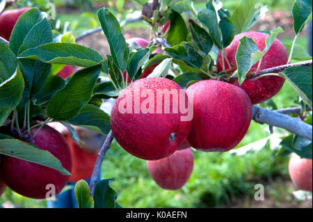 apples red gala branches - Stock Photo