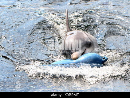Atlantic Bottle-nose dolphin (Tursiops truncatus) surfacing, playing with a blue nautical buoy. - Stock Photo