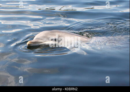 Atlantic Bottle-nose dolphin (Tursiops truncatus) surfacing, close up of the head. - Stock Photo
