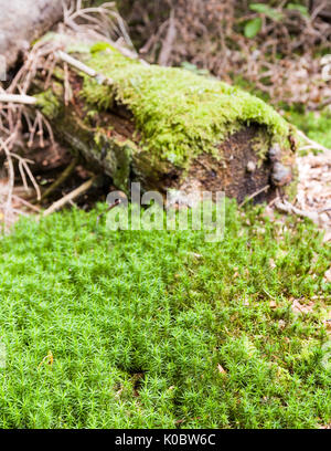 Patch of green moss (Bryophyte) in front of old fallen tree background also covered in green moss  Model Release: - Stock Photo
