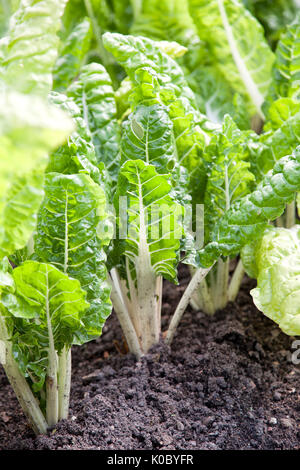 Stalks of beetroot sticking up from the ground in a vegetable patch - Stock Photo