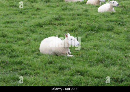 a sheep shorn of its wool laying down in a field of grass - Stock Photo