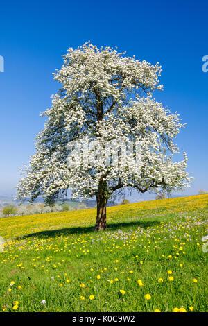 Blühender Birnbaum im Frühling, Schweiz - Stock Photo