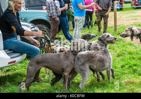 The Barlow Hunt Dog Show - a group of lurchers and whippets pulling on a their leads to greet another dog - Stock Photo