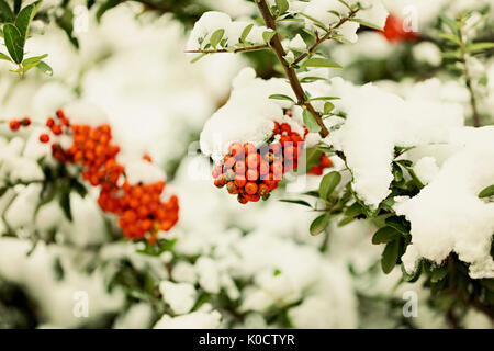 Rowan branch under snow in the winter. Selective focus. - Stock Photo
