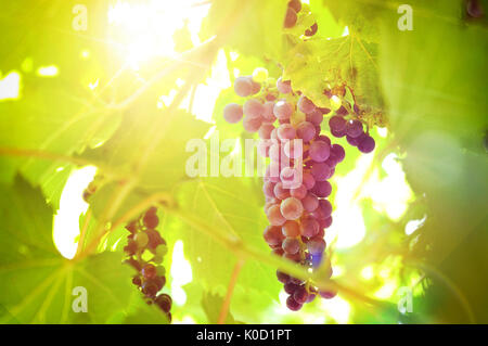 Bunch of black grapes on the plant in a vineyard with sunbeams. Horizontal composition. - Stock Photo