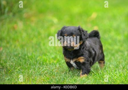 Cute pekingese puppy dog on grass - Stock Photo