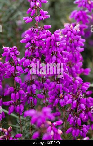Red-purple bell flowers of the purple heather, Erica cinerea, on moorland in Dartmoor, UK - Stock Photo