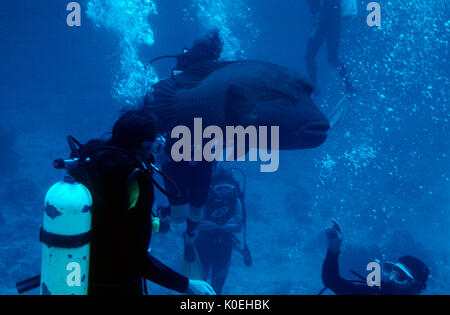Divers with large Humphead Wrasse fish, Hurghada, Red Sea, hovering, scuba, bubbles, blue, diving - Stock Photo