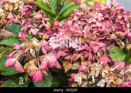 Dying flowers on a Hydrangea macrophylla 'Selma' (Dutch Ladies Series) Shrub near the end of Summer in West Sussex, - Stock Photo