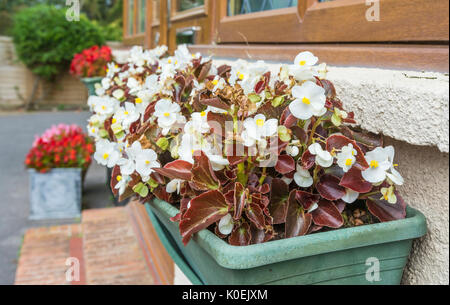 Begonia semperflorens plant (Wax Begonia) bedding variety flowering in a flower box in mid Summer in the UK. White - Stock Photo