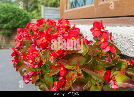 Wax Begonia plant (Begonia semperflorens) bedding variety flowering in a flower box in mid Summer in West Sussex, - Stock Photo