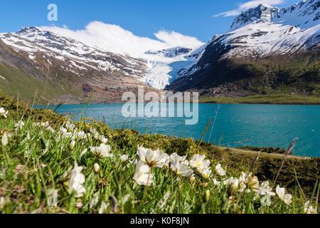 Engabreen glacier arm of Svartisen ice cap seen across Svartisvatnet lake with Mountain Avens Dryas octopetala flowers - Stock Photo