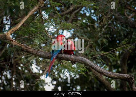 Red-and-green macaw (Ara chloroptera), animal pair sitting on tree, Pantanal, Mato Grosso do Sul, Brazil - Stock Photo