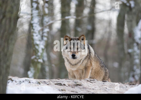 Grey wolf in winter - Stock Photo