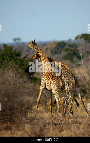 Giraffes fighting at Kruger National Park, South Africa - Stock Photo