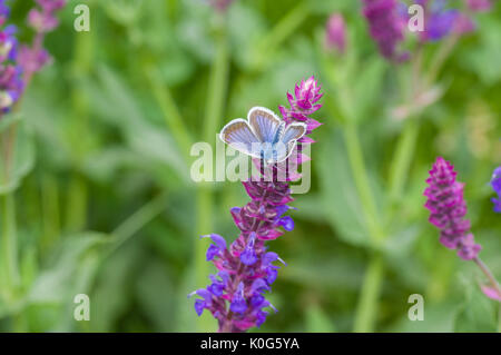 Summer scene with sage flower and Common Blue (Polyommatus icarus) butterfly sucking nectar - Stock Photo